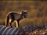 Arctic Fox Near Prudhoe Bay, Alaska Photographic Print by Joel Sartore