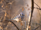 A Blue Jay (Cyanocitta Cristata) Sits in a Tangle of Tree Branches Photographie par Joel Sartore