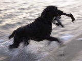 Black Labrador Running on Beach in Cape Cod, United States Photographic Print