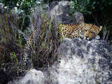 A Ten-Month-Old Male Leopard Cub Lies on a Rock Amid Foliage Photographic Print by Chris Johns