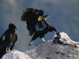 Juvenile, Endangered California Condors Pick Away at a Calf Carcass Photographie par Joel Sartore