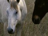A Close View of Two Horses in the Australian Countryside Photographic Print by Medford Taylor