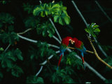 A Mated Pair of Red-And-Green Macaws Exhibit Bonding Behavior Photographic Print by Joel Sartore