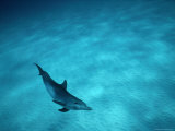 A Spotted Dolphin Sails Past the Coast of Grand Bahama Photographic Print