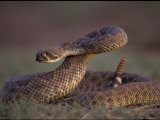 A Rattlesnake Coils up in a Threatening Manner Photographic Print by Joel Sartore