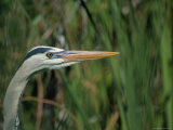 Close View of a Great Blue Heron Photographic Print by Raymond Gehman