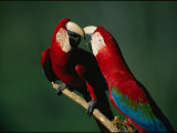 A Mated Pair of Red-And-Green Macaws Exhibit Bonding Behavior Lámina fotográfica por Sartore, Joel