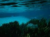 Raymond Gehman - A Blue Tilapia Fish Swims Through the Clear Water Fotografická reprodukce