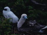 Red-Footed Boobie Mother and Young Photographic Print by James L. Stanfield