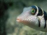 A Side View of a Saddled Puffer Fish Photographic Print by Tim Laman
