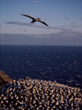 Northern Gannet in Flight over a Rookery Photographic Print by Medford Taylor
