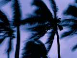 Silhouetted Palm Trees Blow in the Wind Photographic Print by Todd Gipstein