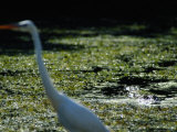 A Common Egret Wades Past an American Alligator Floating Nearby Photographic Print by Raymond Gehman