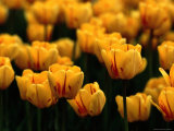 A Close View of Yellow Tulips Photographic Print by Tim Laman