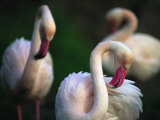 American Flamingos Fotografisk tryk af Joel Sartore