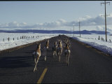 Pronghorn Travel a Road to Avoid Heavy Snow Photographic Print