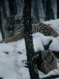 Siberian Tigers with Cubs Inside a Captive Enclosure Photographic Print by Michael Nichols