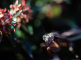 Praying Mantis Photographic Print by Peter Krogh