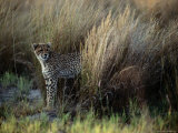 Tall Grasses Provide Coverage for African Cheetahs Photographic Print by Chris Johns