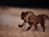 An African Cheetah Sprinting at Top-Speed Photographic Print by Chris Johns