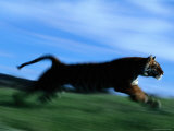 Tiger Running on Tiger Island at This Zoological Park Photographic Print by Michael Nichols