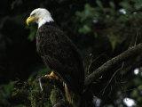 American Bald Eagle Fotografiskt tryck av Raymond Gehman