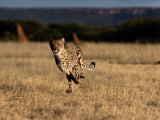 An African Cheetah Running at Top Speed Photographic Print by Chris Johns