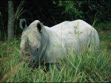 Endangered White Rhinoceroses Photographic Print by Joel Sartore