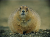 A Close View of a Fat Black-Tailed Prairie Dog Photographic Print by Joel Sartore