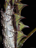 A Close View of a Group of Membracis Treehoppers on a Twig Photographic Print by Tim Laman