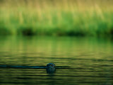 A Harbor Seal Surveys its Surroundings Photographic Print by Raymond Gehman