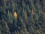 A Single Yellow Tree Stands in Forest of Evergreen Trees Photographic Print by Taylor S. Kennedy