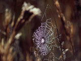 Spider Web with Dew Photographic Print by Medford Taylor