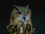 African Eagle Owl Fotoprint van Joel Sartore