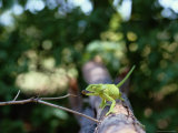 A Chameleon About to Catch a Bug on a Nearby Twig Photographic Print by Beverly Joubert