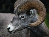 A Rocky Mountain Bighorn Ram Photographic Print by Raymond Gehman