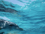 A Spotted Dolphin Plunges into the Water off Grand Bahama Photographic Print