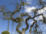 Denmark, Old Tree on Bornholm, Low Angle View Photographic Print
