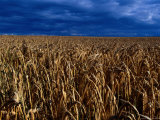 Wheat Field in Denmark Photographic Print by Sisse Brimberg
