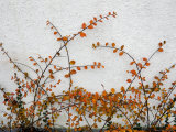 Orange Leaves against White Danish Wall, Denmark Photographic Print