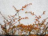Orange Leaves against White Danish Wall, Denmark Photographic Print