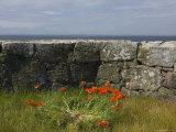 Denmark, Christians Oe Island, Poppy Flowers Granite Wall Photographic Print