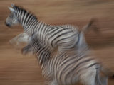 Panned View of Running Zebras Photographic Print
