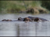 A Submerged Hippopotamus Rises to the Surface for Air Photographic Print by George F. Mobley