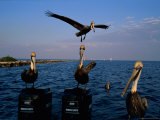 Brown Pelicans Perched on Outboard Motors Photographic Print