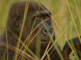 Western Lowland Gorilla Photographic Print by Michael Nichols