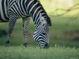 Close View of a Grazing Grants Zebra Photographic Print