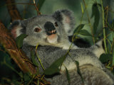 A Koala Bear Clings to a Eucalyptus Tree in Eastern Australia Fotoprint van Nicole Duplaix
