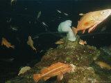 Fish Swim Around White Plumose Anemones (Metridium Senile) Photographic Print by Emory Kristof