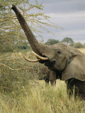 An African Elephant Uses its Trunk to Reach into a Tree Photographic Print by Roy Toft